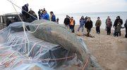 Martwy wieloryb przetransportowany na Hel