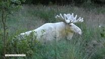 Marzenie każdego miłośnika przyrody. Biały łoś