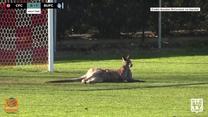 Mecz piłki nożnej w Canberze przerwał... kangur