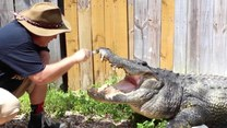 Mężczyzna czyści kły aligatora… szczoteczką do zębów