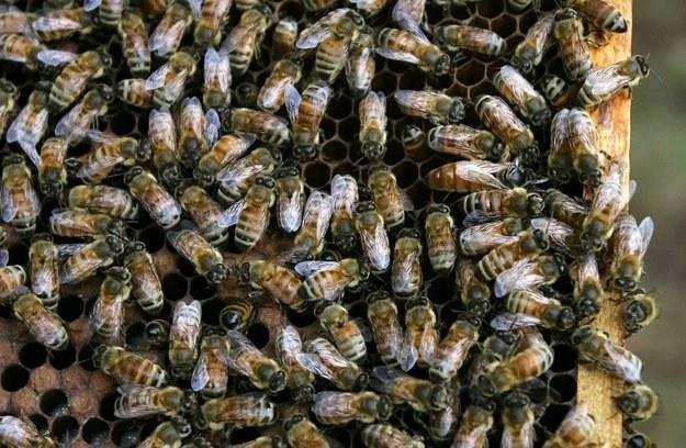 Mężczyznę zaatakowały pszczoły /AFP