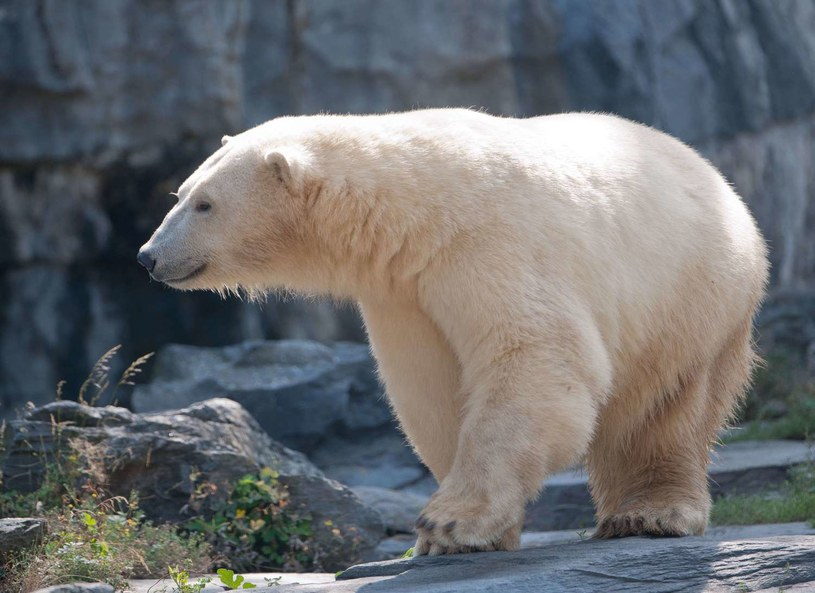 """Miasto Churchill jest nazywane """"światową stolicą niedźwiedzi polarnych"""" /AFP"""