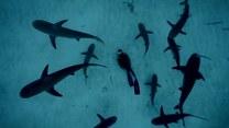 Między rekinami. Nurek podziwia drapieżniki z dna morskiego