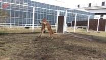 Mieszane sztuki walki w wykonaniu jelonka i kangura