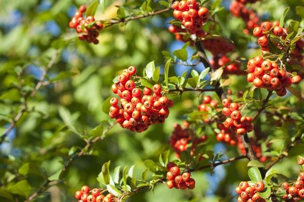Mikstury z jarzębiny są jesienią obowiązkowym punktem w Twojej kosmetyczce /123/RF PICSEL