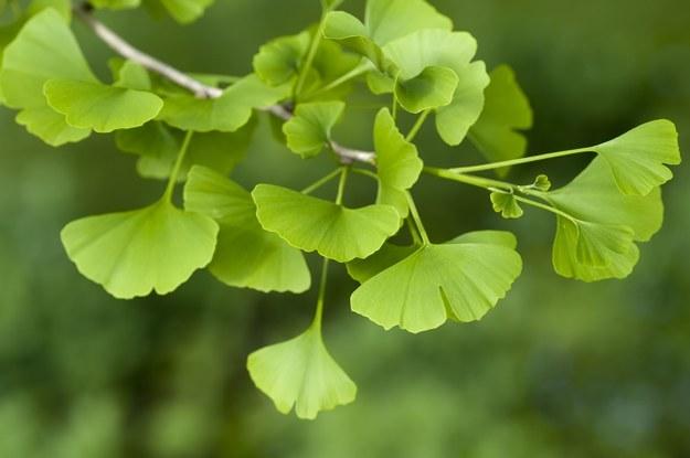 Miłorząb japoński to najczęściej stosowany lek ziołowy /123/RF PICSEL