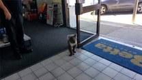 Miś koala na zakupach. Co kupuje?