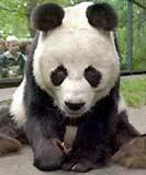 Miś panda /