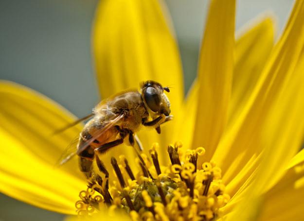 Mleczko pszczele wzmacnia odporność /© Panthermedia