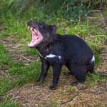 Mleko diabłów tasmańskich skrywa lek na superbakterie
