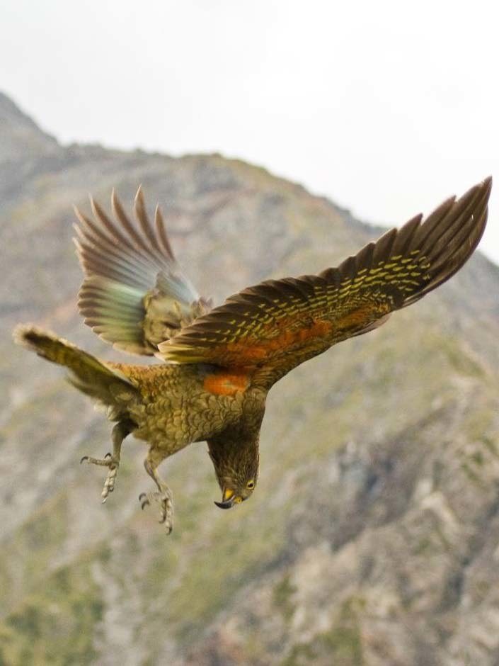 Młoda papuga kea /Raoul Schwing /materiały prasowe