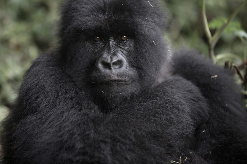 Młoda samica ze stada Hirwa w Rwandzie /fot. Martina Bacigalupo /The New York Times Syndicate