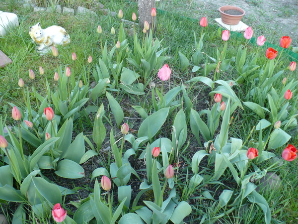 klomb tulipanów