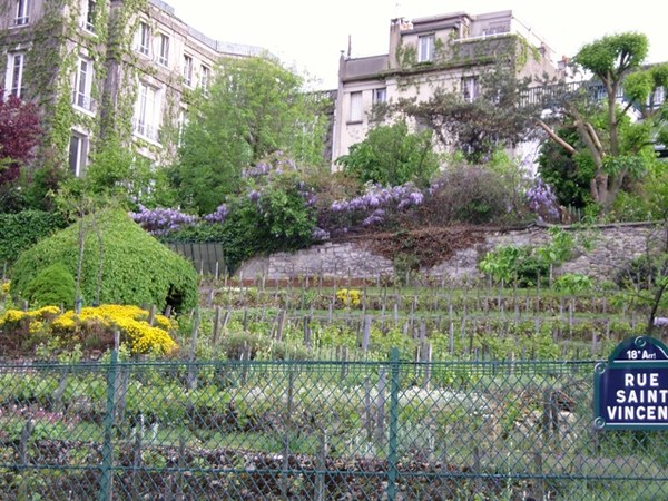 Ostatnia winnica na Montmartre