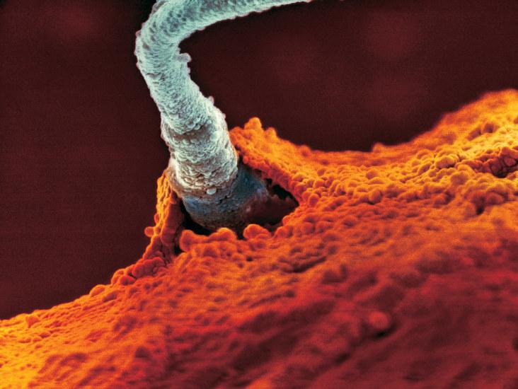 Moment wniknięcia plemnika do komórki jajowej pod mikroskopem elektronowym /materiały prasowe