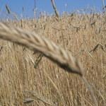 Morawiecki: Przed żniwami pokażemy specjalny pakiet wsparcia rolników