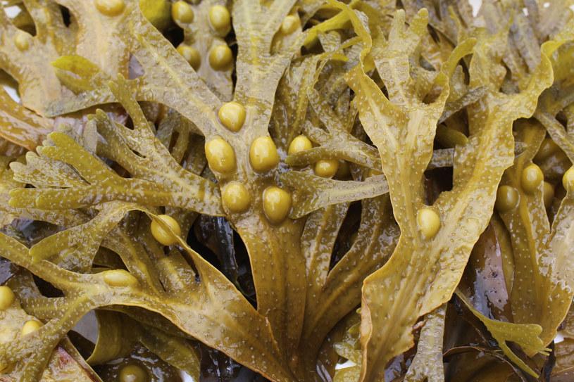 Morszczyn pęcherzykowaty /©123RF/PICSEL