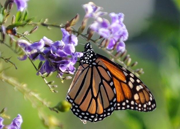 Motyl monarcha /AFP