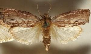 Motyl najlepiej słyszącym zwierzęciem na świecie