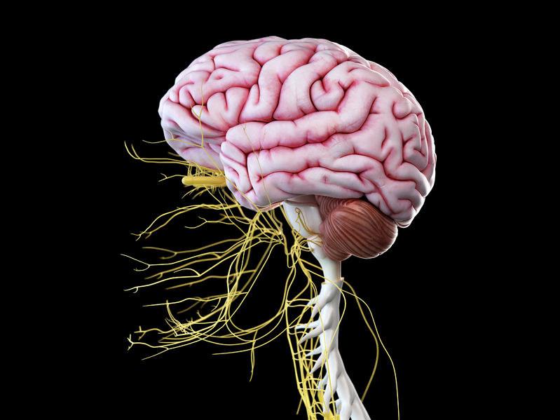Mózg wraz ze wszystkimi nerwami głowy /©123RF/PICSEL