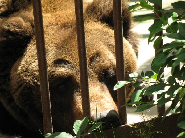 miś z węgierskiego zoo
