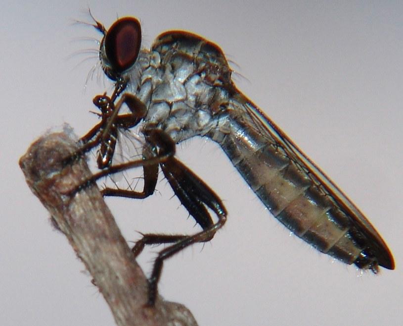 Muchy z rodziny Asilidae są znane z agresywnego zachowania wobec innych gatunków. Na zdjęciu jedna z brazylijskich przedstawicielek gatunku. Fot. José Reynaldo da Fonseca /Wikipedia