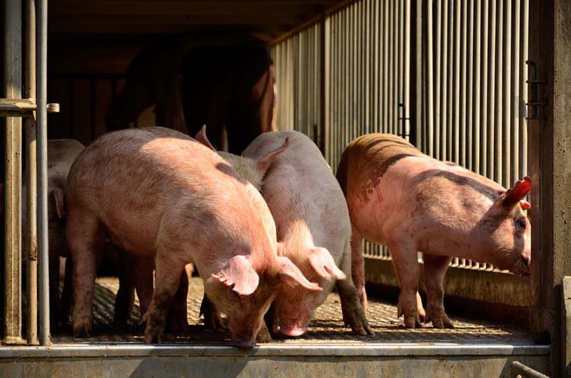 My także możemy zarazać świnie grypą /123RF/PICSEL