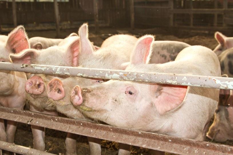 Na obszarach objętych obostrzeniami zakazane jest organizowanie targów z udziałem świń i ubój na własny użytek. /©123RF/PICSEL