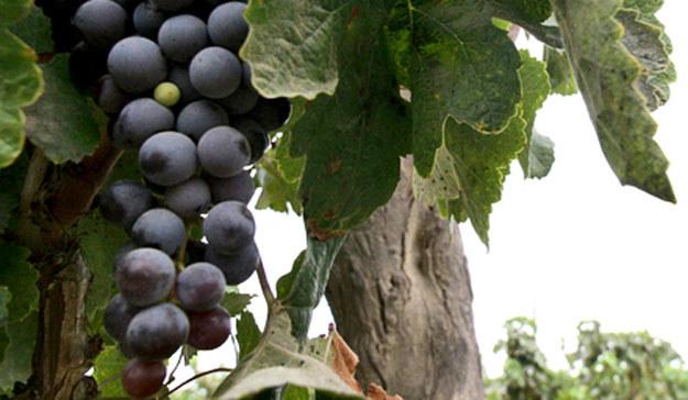 Na Podkarpaciu jest ponad 150 winnic. /AFP