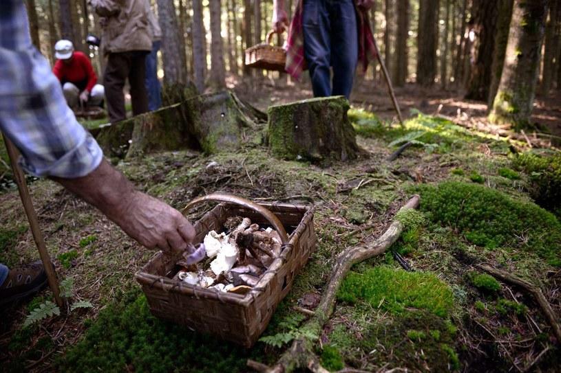 Na Słowacji zanosi się na ciężkie czasy dla grzybiarzy. /AFP