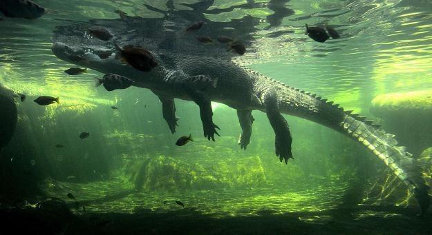 Na zdjęciu krokodyl z zoo w Sydney (Australia), 3 października 2012 /AFP