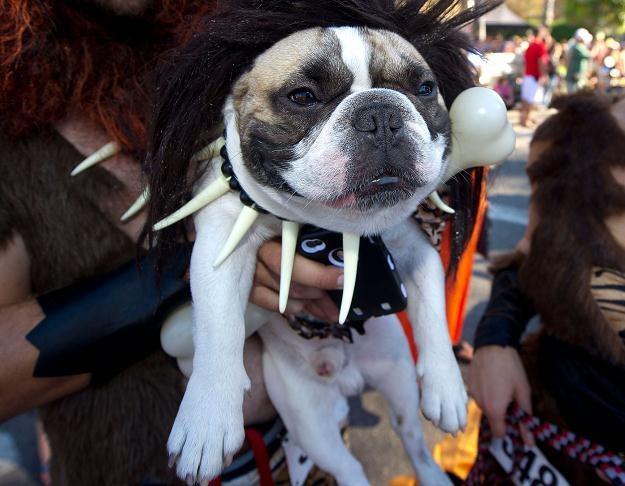 Na zdjęciu uczestnik parady psów z okazji Halloween w Long Beach (Kalifornia), 28 października 2012 /AFP