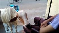 Nachalna krowa chciała, żeby ją głaskać