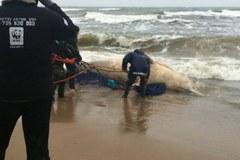 Nad Bałtykiem próbują wyciagnąć z wody ciało martwego wieloryba