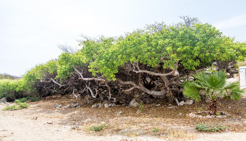 Najbardziej trujące drzewo na świecie /©123RF/PICSEL