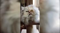 Najbrzydszy kot w internecie? Został gwiazdą