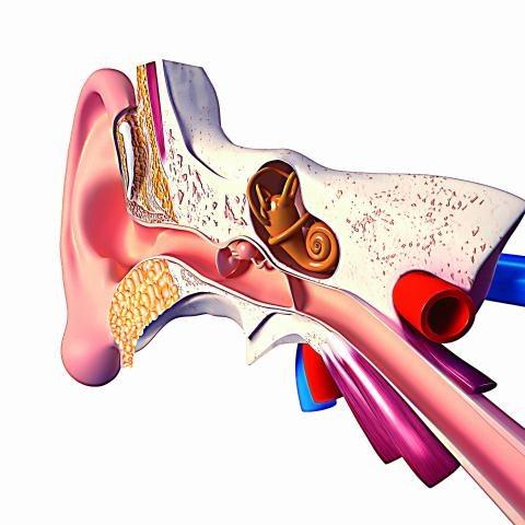 Najczęściej miejscem generowania szumów usznych jest ucho wewnętrzne (ślimak). /123/RF PICSEL