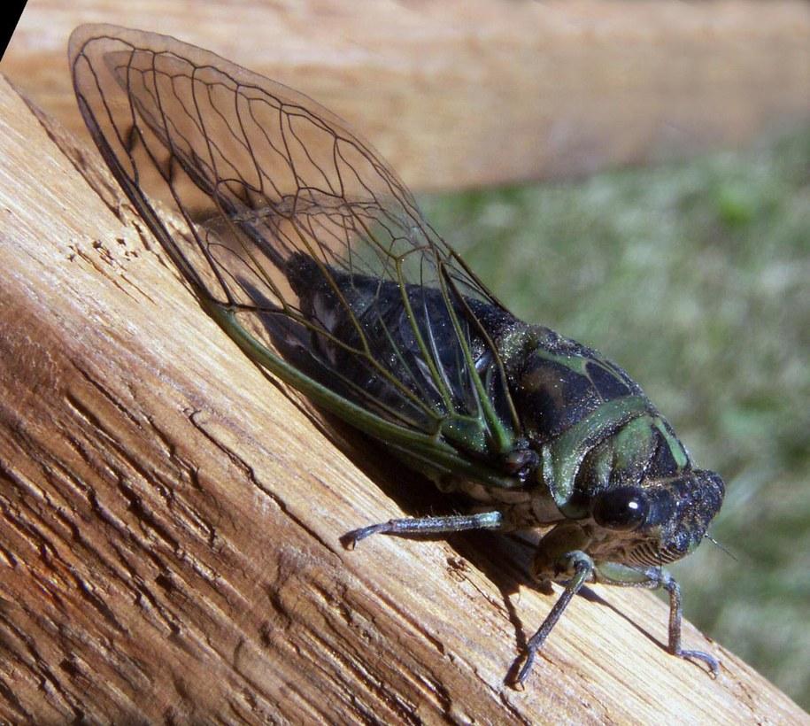 Najgłośniejsze owady świata