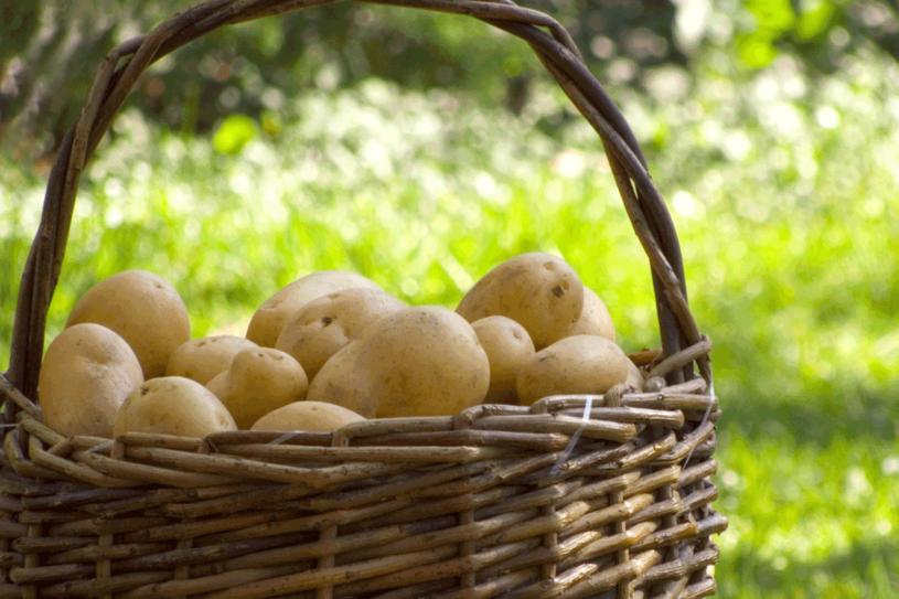 Najwięcej składników odżywczych znajduje się pod skórką. Lepiej więc gotować ziemniaki w mundurkach /123RF/PICSEL