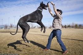 Najwyższy pies na świecie?