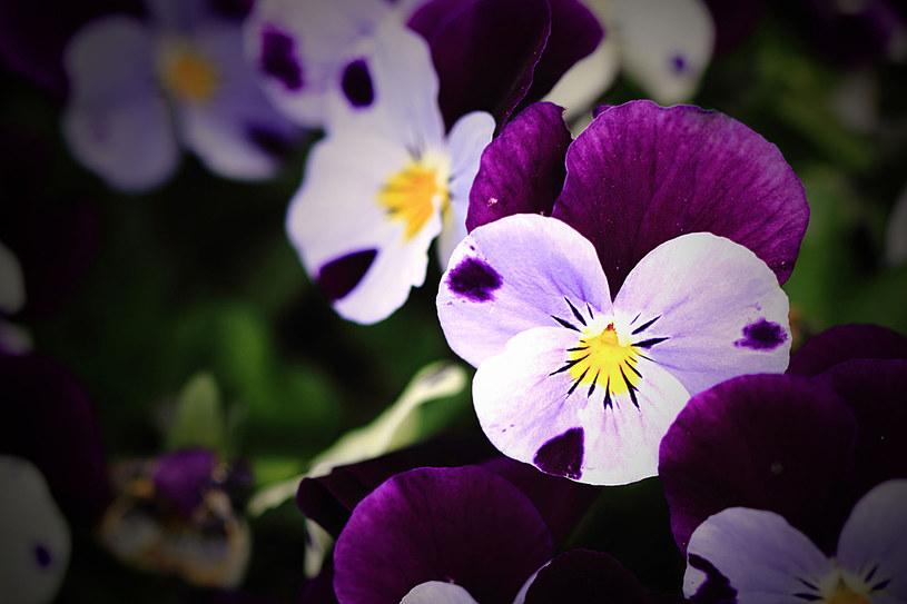 Napar z kwiatów fiołka ma działanie oczyszczające krew /123RF/PICSEL