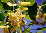 Napar z kwiatów lipy jest stosowany jako środek napotny /INTERIA.PL