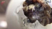 Narodziny małego żółwia. Urocze