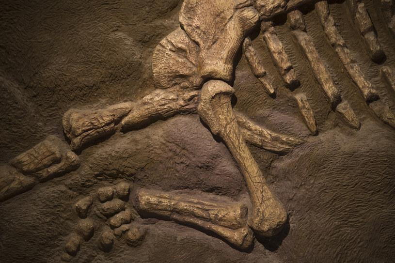 Naszą wiedzę o dinozaurach czerpiemy głównie z wykopanych skamieniałości /123RF/PICSEL