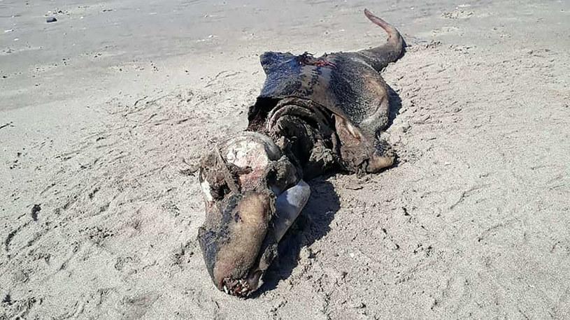Naukowcy nie wiedzą jeszcze co to za zwierzę zostało wyrzucone na brzeg w Swansea /materiały prasowe