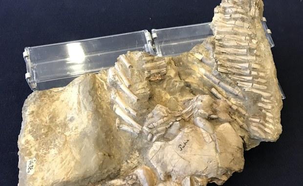 Naukowcy odkryli najstarszy przypadek gruźlicy. Chorował na nią morski gad z Gogolina