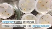 Naukowcy są bezradni - groźna bakteria zabija kasztanowce