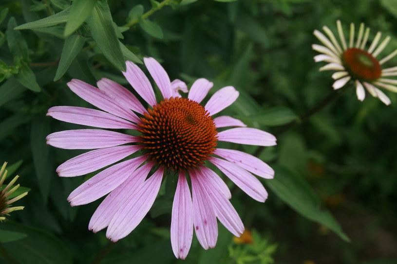 Nie tylko pięknie wygląda. Pomaga w walce z przeziębieniem /©123RF/PICSEL