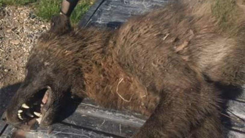 Nie wiadomo czym jest tajemnicze zwierzę zastrzelone w Montanie /Fot. Montana FWP /materiały prasowe