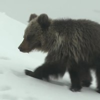Nie żyje niedźwiadek z Kasprowego Wierchu